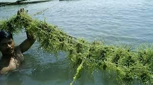 Manfaat Mengkonsumsi Rumput Laut